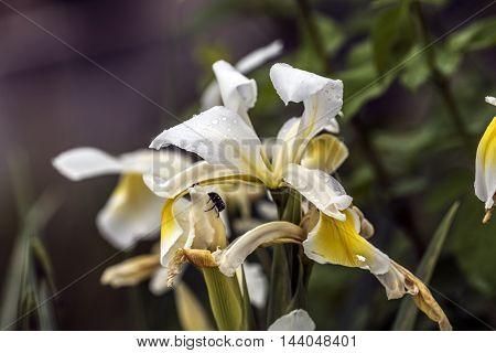 white and yellow iris flowers ourdoor macro closeup