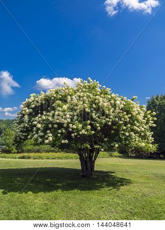 Blooming Pee Gee hydrangea (Hydrangea paniculata 'Grandiflora') on the meadow under a blue sky