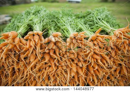 close up fresh carot in organic farm