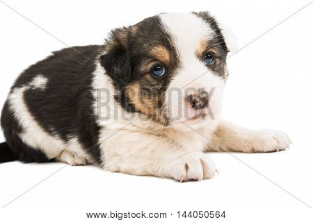 puppy pet  dog on a white background