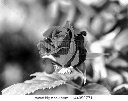 red rose outdoor black and white closeup