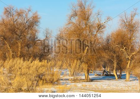 Turanga Relict Trees In The Winter, The River Or Kazakhstan. Kapchagai Bakanas,