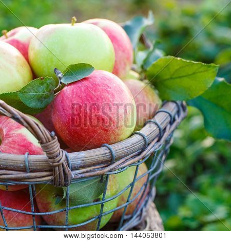 Fresh ripe apples in the basket. Organic fruit and vegetables. Closeup