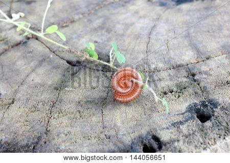 Millipede. Millipede One. Millipede Coiled. Millipedes Curl On Wood With Grass