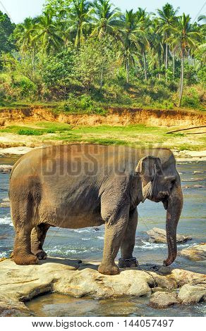 Elephants Wild In The River