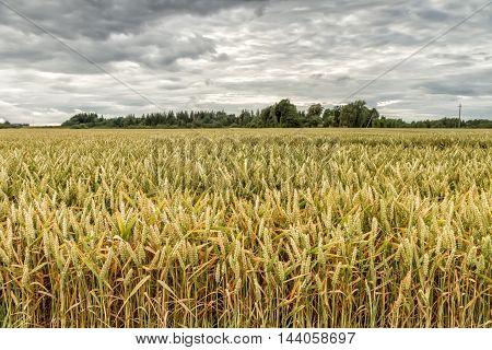 Gold Grains Before Harvest
