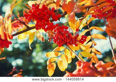 Autumn Rowan Tree With Red Berries