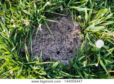 Dried cowpat in field , insects, dried, bull, dung, poo