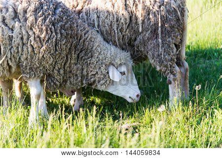 sheep grazing sheepskin, farmland in the meadow
