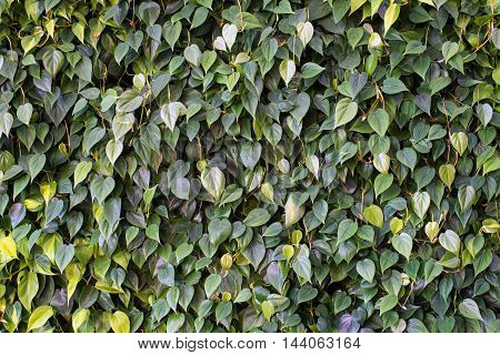Green leaves plant foliage hedge back drop