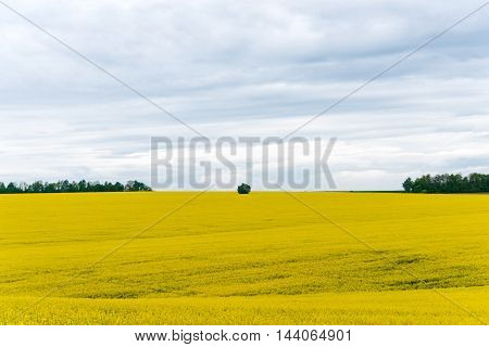A Canola crop in full Spring flower