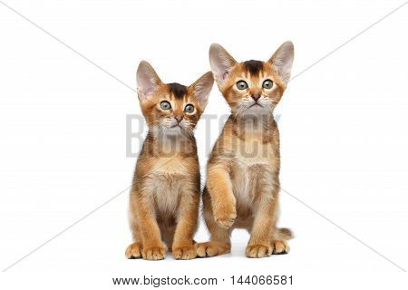 Two Cute Abyssinian Kittens Sits and Curious Looking in Camera on Isolated White Background, Front view, Baby Cat