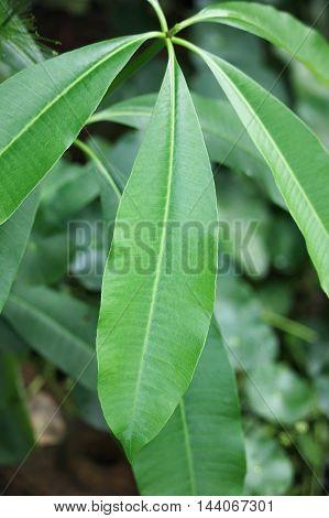 Leaf of Blackboard Tree Devil Tree Alstonia scholaris (Linn.) R. Br. Flowers herbs Thailand has medicinal properties.