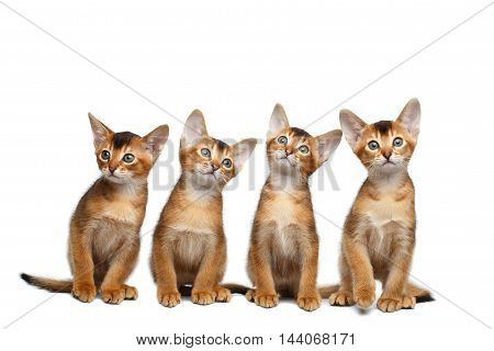 Group of Abyssinian Kittens Sitting and Looks in Camera on Isolated White Background, Raising up Head, four Funny Family cat, Curious face