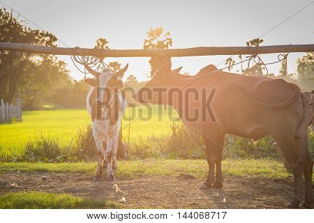 Thai cows in field at sunset time, thailand