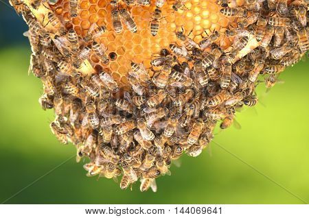 swarm of bees on honeycomb in apiary