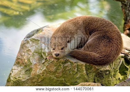 Weasel resting in the wild on the stone