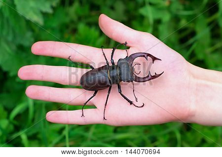 stag beetle on the palm on a background of green leaves