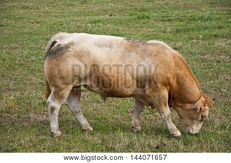 Reddish bull grazing in the field. Photo taken in Navarre, Spain