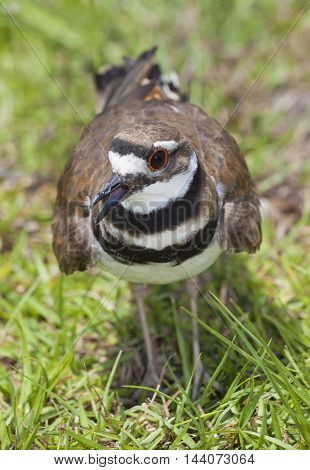 Killdeer on the grass that has its mouth open making noise