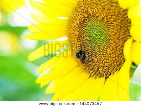 Summer meadow with beautiful yellow sunflowers - bumblebee on a sunflower