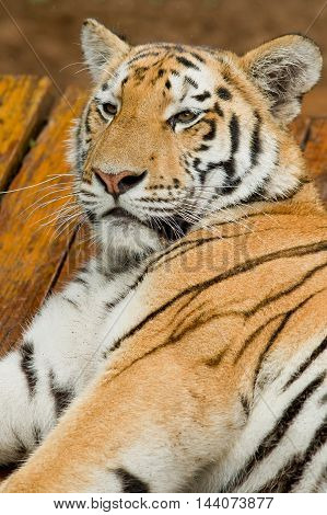 Sleepy looking tiger looks up from lying on some wooden planks