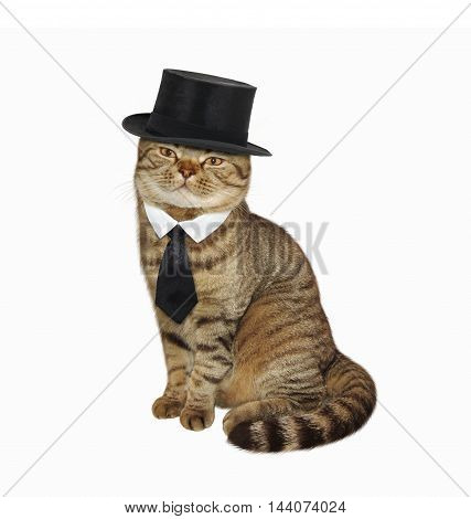 A Scottish Straight cat in the cylinder hat and tie on white background.