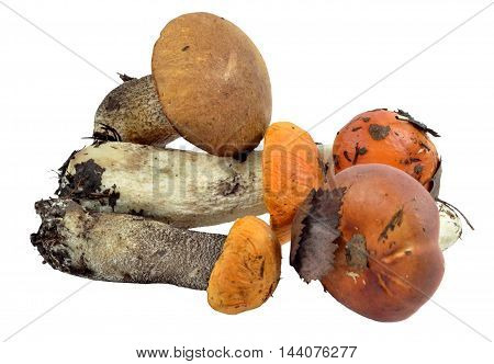 Handful of edible wild mushrooms, brought out of woods: boletus, aspen, russula stuck with last year's pine needles, leaves and roots of mycelium residues on legs. Isolated on white background