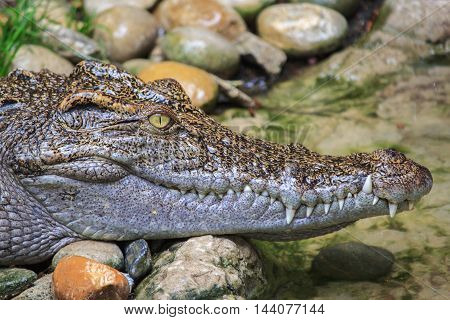 Close up Head Shot of Siamese Crocodile