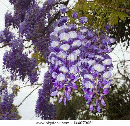 Bright wisteria flowers hanging in a tree in early spring