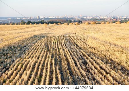 Stubble On Mown Wheat. The Cut Stalks Of Grain Plants Left Sticking Out Of The Ground After The Grai