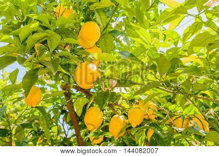 Yellow lemons hanging on tree. Horizontal close-up frame with bunch of lemons on tree in Italy typical location for this exotic fruit.