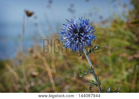 Blue flowers Echinops sphaerocephalus bloom along waterways.