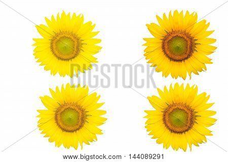 Sunflower Background for presentation Sunflower Background Sunflower