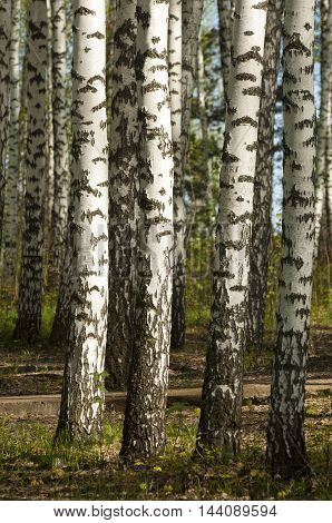 Birch Wood. Birch Forest. Birch Grove. White Birch Trunks. Spring Sunny Forest.
