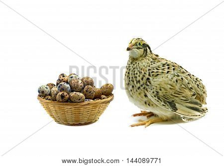 Laying hen of domesticated quail with wooden basket of eggs isolated on white background. Domesticated quails are important agriculture poultry.