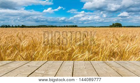 Field with ripening wheat in ecologically cleanest region of Europe