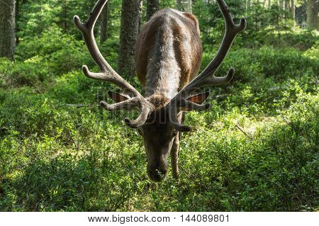 Portrait of majestic powerful adult red deer, cervus elaphus, among the trees in a forest in Sumava, Bohemia, Czech republic