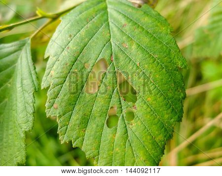 Forest insect pests of trees. Foliage damaged and eaten up by caterpillars.Insects larvae have a leaky greens.