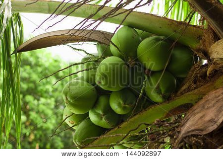 Coconut on a Coconut tree in Brazil