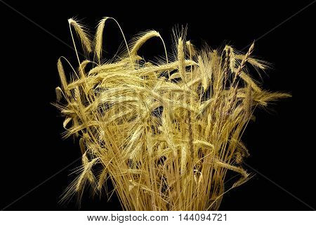 Bunch of wheat ears isolated on a black background
