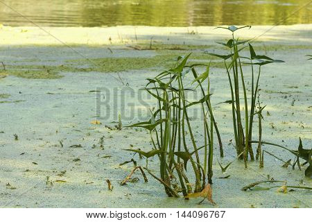 Overgrown weeds and reeds pond lake or river shore covered with mud