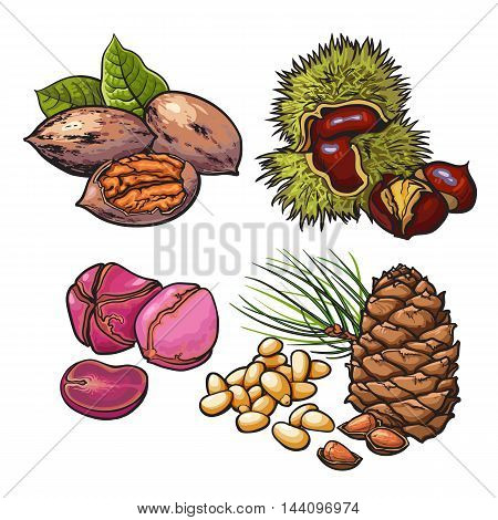 Collection of walnuts, chestnuts, pine nuts and peanuts illustration isolated on white background. Set of fresh and ripe seasonal cedar nut walnut chestnut and peanut