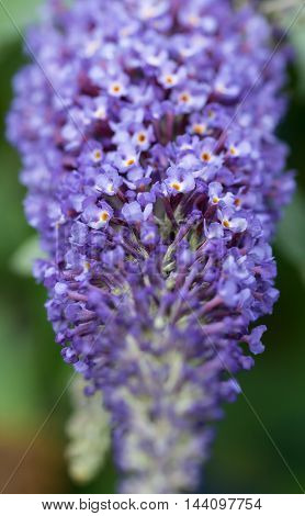 Close up of blue Buddleia (butterfly bush) flowers with very shallow focus