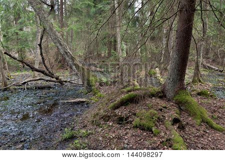 Wet coniferous stand in spring with spruce tree next to waterhole, Bialowieza Forest, Poland, Europe