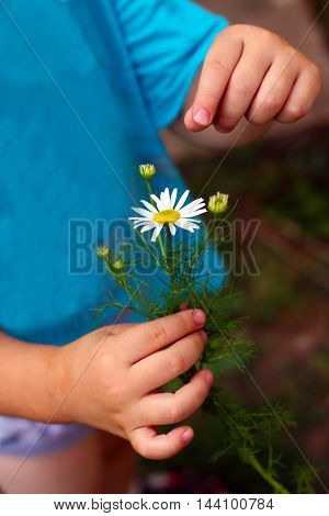 Camomile in a children's hand. White flower.