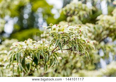 Green Blooms on Kousa Dogwood in Forest