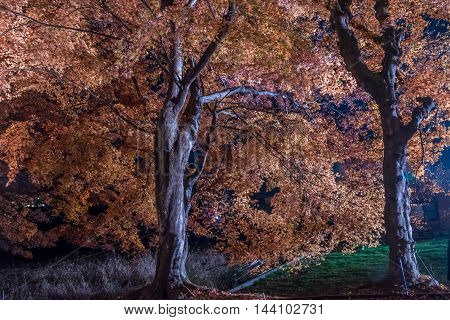 The Momiji or Maple will light up at night. This is called maple corridor or maple tennel at Nashigawa river Japan.
