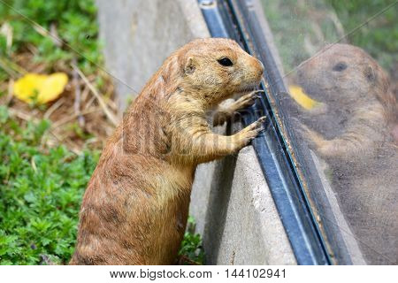 A prairie dog looking at their reflection in the glass
