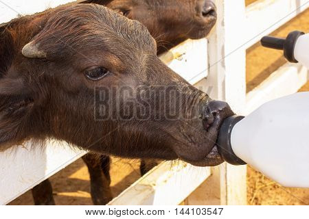 Feeding a baby of murrah buffaloes from bottle